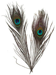 Peacock Feathers 4 Pack